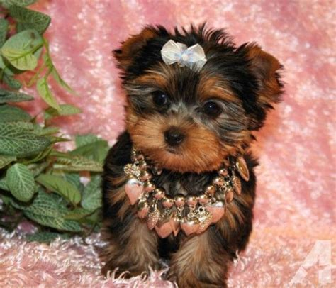 tiny teacup yorkies for sale in 17 best images about cutest tiny puppies for sale on morkie puppies for