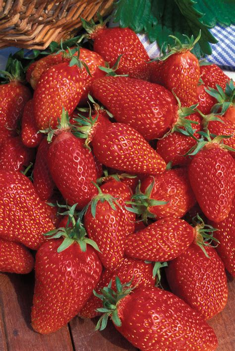 strawberry gariguette from mr fothergill s seeds and plants