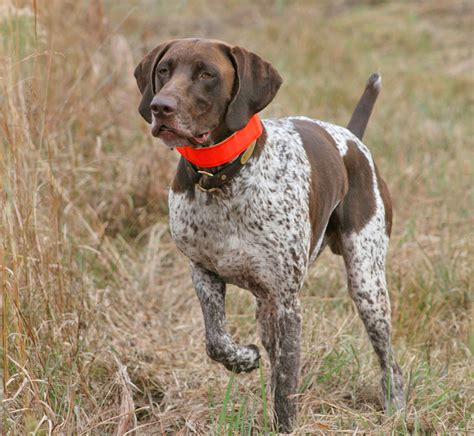 bird dogs 5 tips on how to choose the best collars for bird dogs