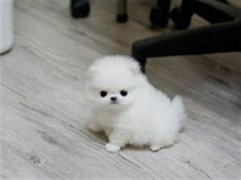 how much should a pomeranian weigh worlds third cutest dogs on teacup pomeranian teacup puppies and pomsky