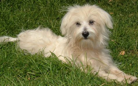 references photos thomas kennel maltese poodles maltese pictures photograph valley view maltese poodle breed