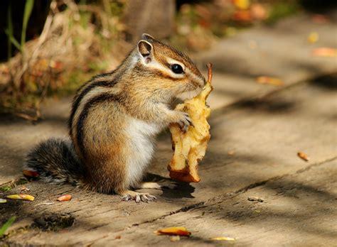 a chipmunk siberian chipmunk by nachiii on deviantart