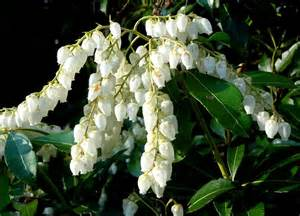 andromeda plant info learn about pieris japonica growing