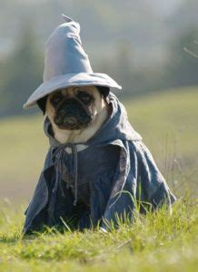 pugs of middle earth the hobbit and the lord of the rings on middle earth pugs and lord of the