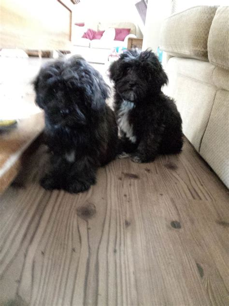 schnoodle puppies for sale only 2 remaining malpas cheshire lhasapoo puppies for sale only 1 girl remaining malpas