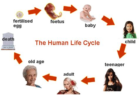 human cycle diagram the human cycle stages of human developement