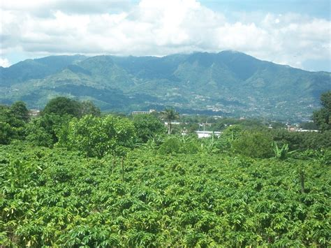 coffee plantation wallpaper costa rican coffee plantation by xproudtreehuggerx on