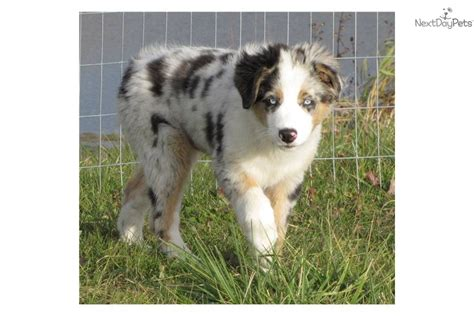 australian shepherd puppies in michigan australian shepherd puppy for sale near battle creek michigan c829881d 7b81