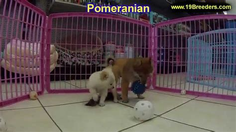 puppies for sale albuquerque pomeranian puppies dogs for sale in albuquerque new mexico nm 19breeders