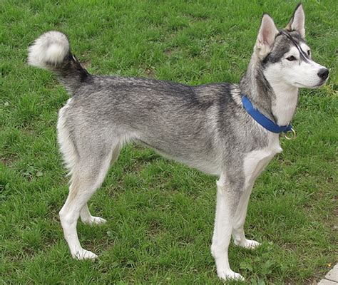 how to put weight on a puppy how to get siberian husky to put on weight
