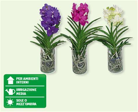 orchidea vanda in vaso di vetro orchidea vanda aldi svizzera archivio offerte