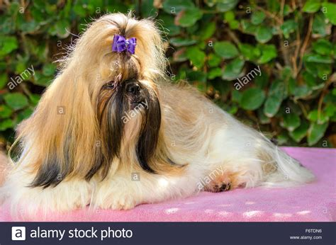 how much will my shih tzu weigh black and brown shih tzu www pixshark images galleries with a bite