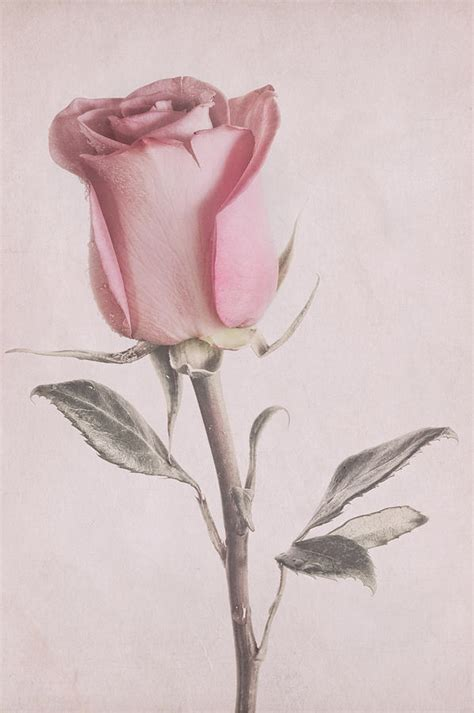 dusty pink rose photograph by garvin hunter