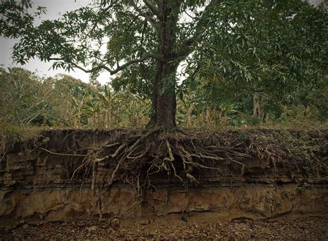 the roots wikipedia file exposed mango tree roots jpg wikimedia commons