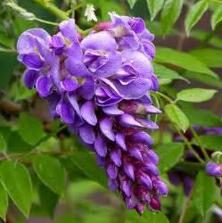 american wisteria wisteria frutescens amethyst falls