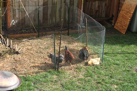 raising backyard chickens  dummies modern farmer