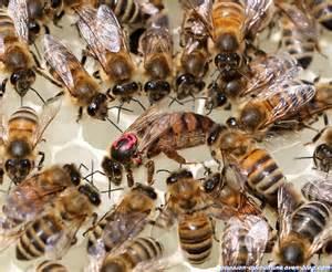 vie apicole apiculture