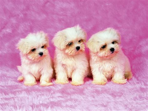 shih tzu puppies for free shih tzu puppies wallpaper for your computer desktop free wallpapers