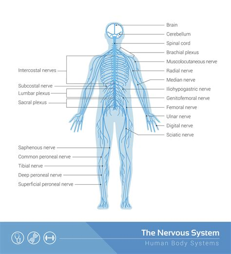 nerves diagram 5 faq s about subluxations calgary chiropractor answers all