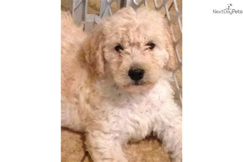 goldendoodle puppy for sale dayton ohio puppies for sale goldendoodle breeds picture