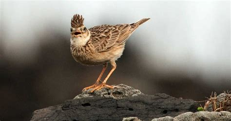 Pakan Branjangan branjangan burung hobi