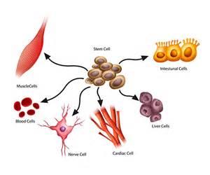 stem cells stem cells explained what are stem cells