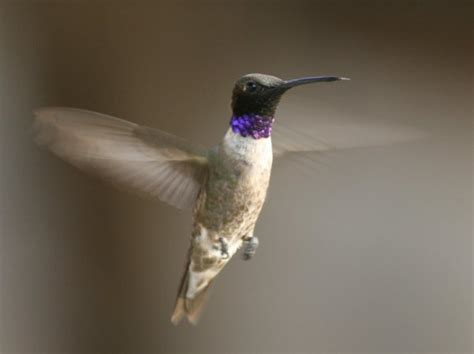year round hummingbirds of the sierra foothills sierra