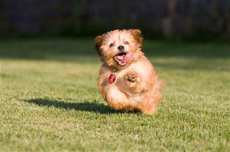 puppies running the running puppy therunningpuppy