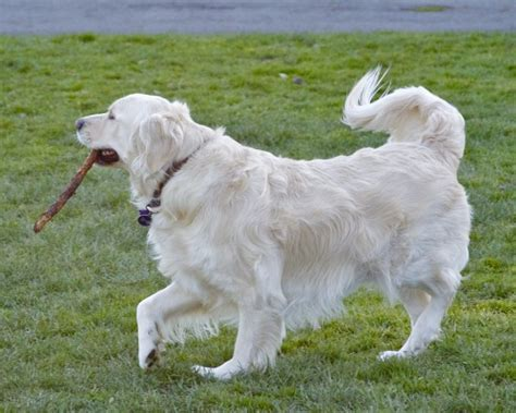 light colored golden retriever 301 moved permanently