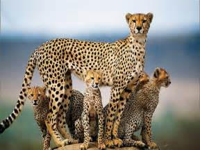 Cheetahs And Jaguars Beautiful Animals Safaris The Fastest Cheetah In The