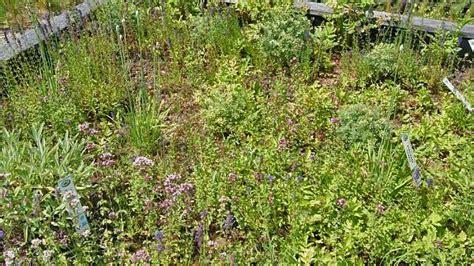 kräuter im garten überwintern pflanzen f 252 r die dachbegr 252 nung dachbegr 252 nung information