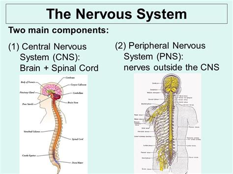 what are the two main sections of an html document gallery components of the nervous system anatomy