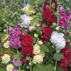 bootsverleih englischer garten hollyhock seeds summer carnival hollyhock mix alcea rosea