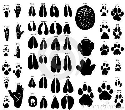 african animal tracks royalty  stock photography image