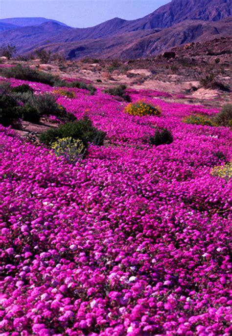 anza borrego desert flowers nature our world spring wildflowers anza borrega