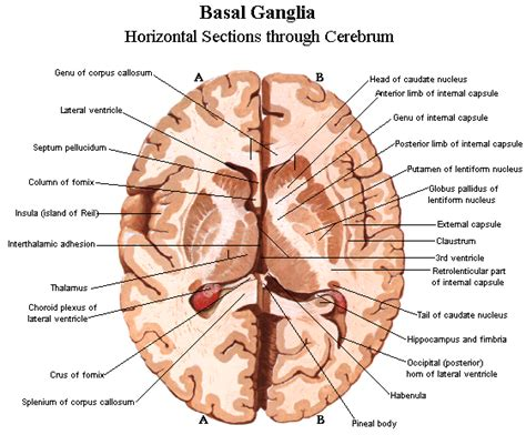 cross section of the human brain brain anatomy and images brain