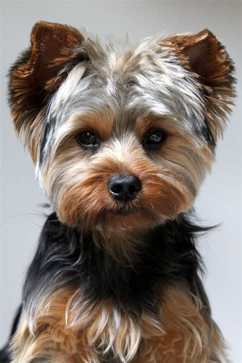 yorkie haircuts pictures styles yorkie haircut moose pinterest