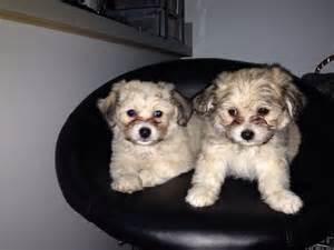 Light Shedding Dogs Chi Chon Bichon Frise Chihuahua Mix Info Care Puppies