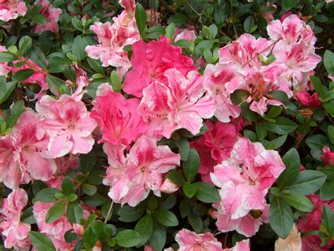 azalea bush colors conversation azalea louisiana plant fall