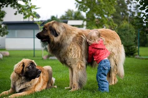 breed leonberger leonberger breed 187 everything about leonbergers