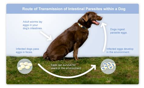intestinal parasites in dogs trifexis 174 spinosad milbemycin oxime for dogs argyle veterinary hospital