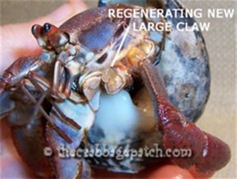 Hermit Crab Shedding by Hermit Crab Successful Molting