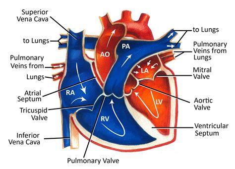 Color Of Oxygenated Blood by The Zen Of Cardiac Blood Flow Forgotten Physiology