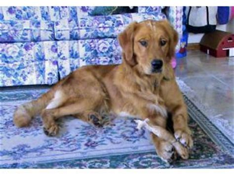 mn golden retriever puppies for sale now golden retriever puppies in minnesota