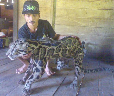 Pola Kulit Macan Harimau kucing hutan kabar paman anum