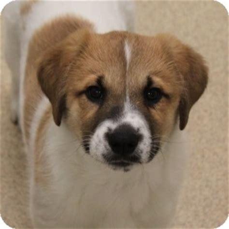 st bernard mix puppies st bernard mix pups adopted puppy 13 0060 naperville il st bernard mix