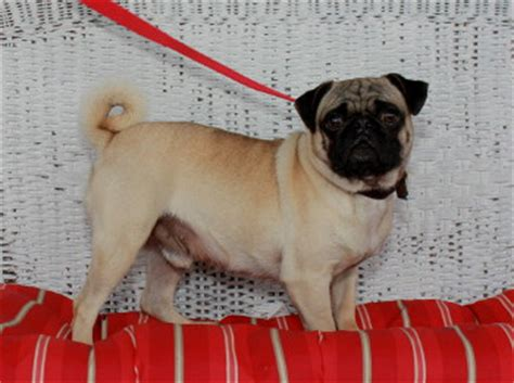 pug puppies for sale in lancaster pa pug puppies for sale in pa lancaster puppies 174