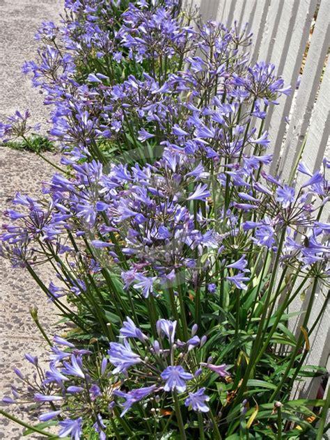 agapanthus peter pan peter pan african lily lily