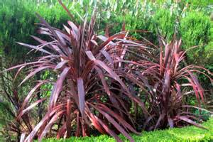 cordyline australis red sensation cordyline red