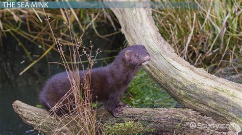 sea mink facts extinction video lesson transcript studycom
